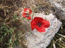 Маки с крестами внутри расцветают в Греции на Пасху