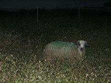 Заблудшая овца