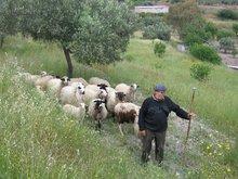 Пастух. О. Эгина