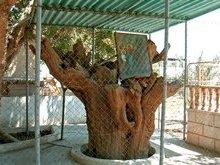 Иерихон. Дерево сикамора на котором находился мытарь Закхей.