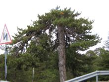 Местное предание говорит, что когда переносили икону, то деревья благоговейно склонили верхушки. Так и стоят по сей день.