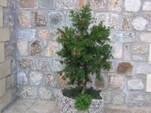 Гранатовое дерево во дворе монастыря.